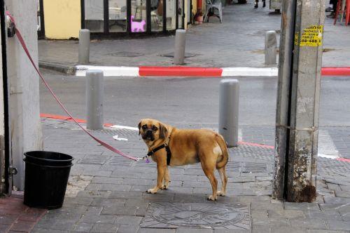 Pug Dog On Street