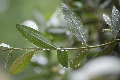 puglia olive tree oil