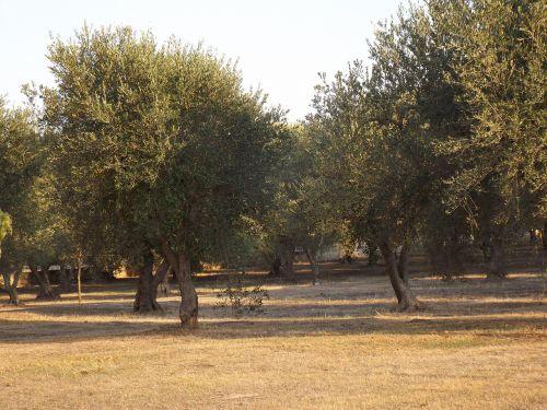 puglia olive trees olive grove