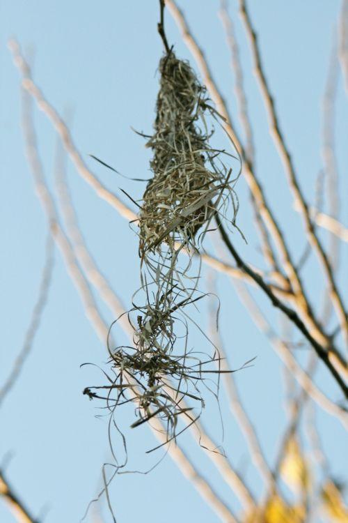 Pulled Apart Weaver's Nest