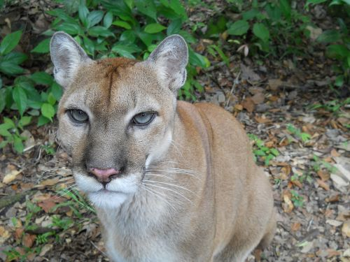puma cat wildlife