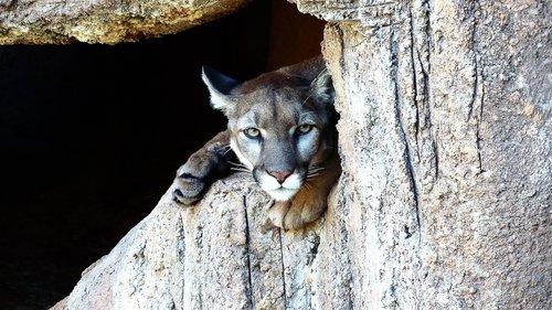 puma  feline  predator