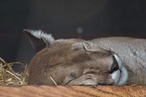 puma  sleep  mountain lion