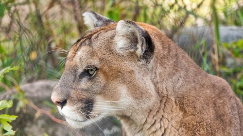 puma  mountain lion  cougar