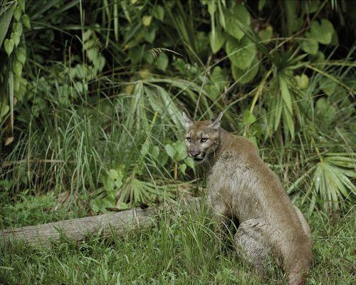 puma florida panther cougar