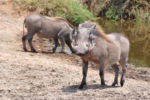 pumba warthog serengeti