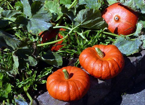 pumpkin garden vegetable