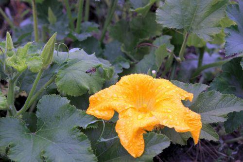 pumpkin flower flowering pumpkin