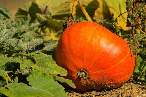 pumpkin orange autumn