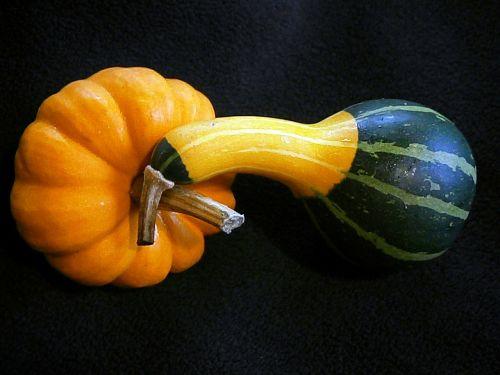pumpkin gourd mini pumpkins