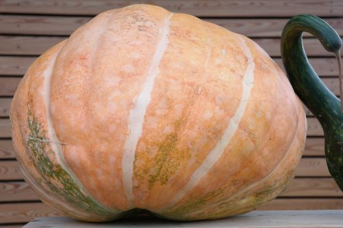 pumpkin large about