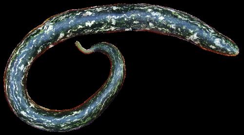 pumpkin snake gourd isolated