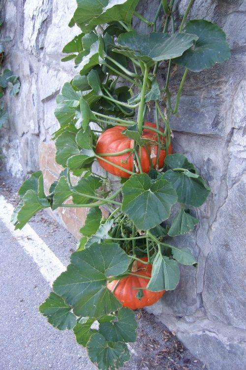 pumpkin leaves fruits