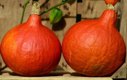 pumpkin hokkaido orange