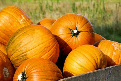 moliūgas,moliūgas,oranžinė,geltona,ruduo,metų laikas,moliūgų ruduo,derlius,maistas,vaisiai,gražus,spalvinga,spalva,aukso ruduo,dekoratyvinis,Halloween,padėka,Spalio mėn,Žemdirbystė,kaimas,pardavimas,gamta,vakaro saulė