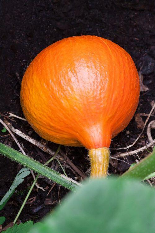 pumpkin hokkaido vegetables