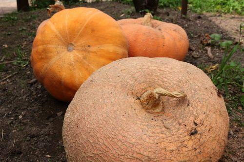 pumpkin vegetable village