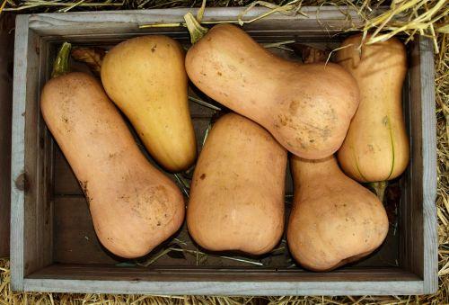 pumpkin butternut squash butternut
