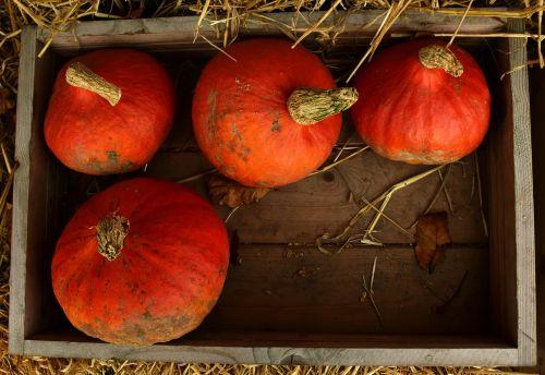 pumpkin hokkaido hokkaido pumpkin