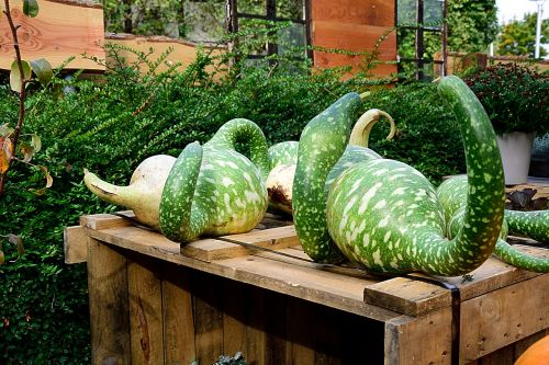 pumpkin bottle gourd decorative squashes