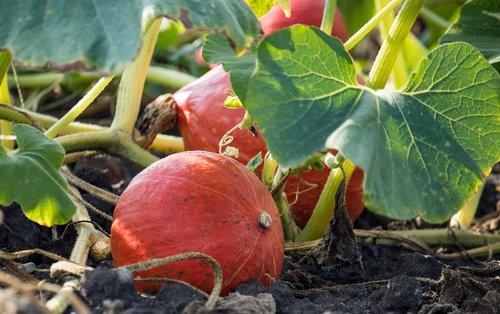 pumpkin  horticulture  agriculture