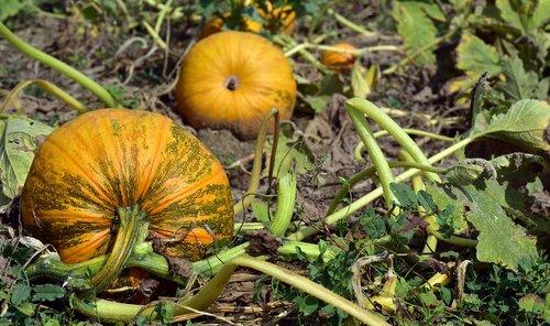 pumpkin  pumpkin box  field