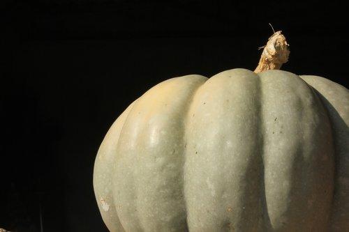pumpkin  halloween  unripe