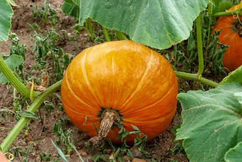 pumpkin  vegetable  vegetable garden