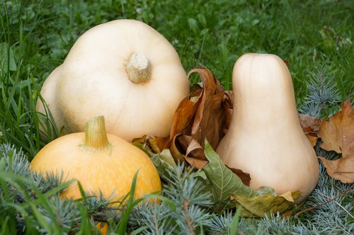 pumpkin  squash  vegetable