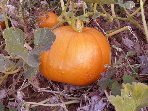 pumpkin food orange