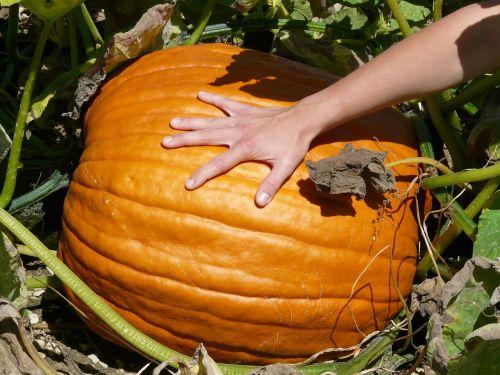 pumpkin cucurbita maxima choose
