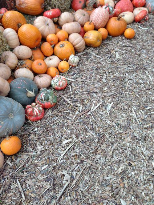 pumpkin fall dallas