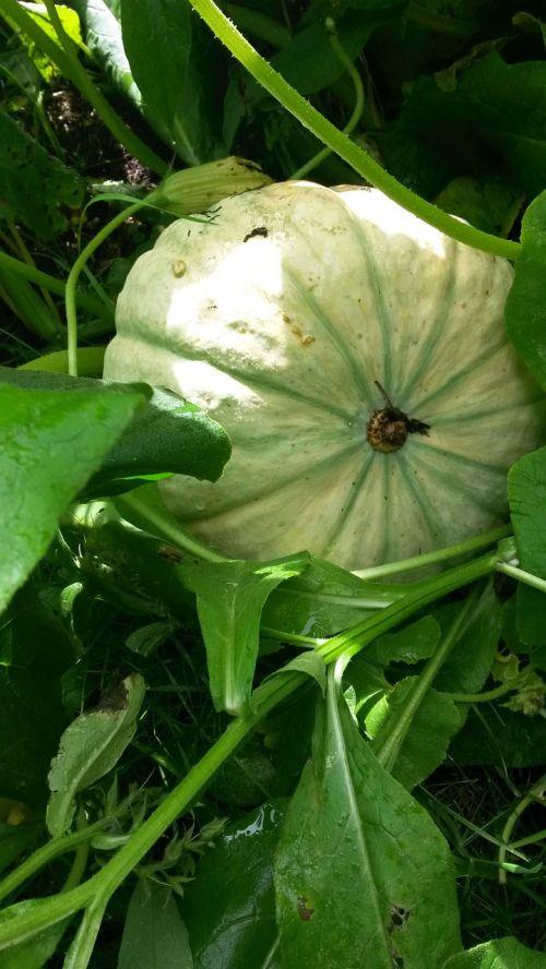 moliūgas,žiedas,žydėti,augalas,gamta,žalias,išnaudoti,kiek galima,lapai
