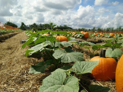 pumpkin patch pumpkin patch
