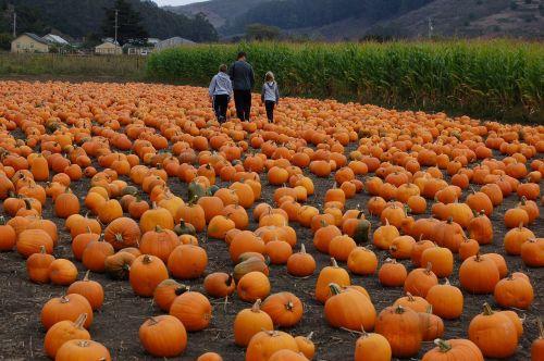 pumpkin patch pumpkin autumn