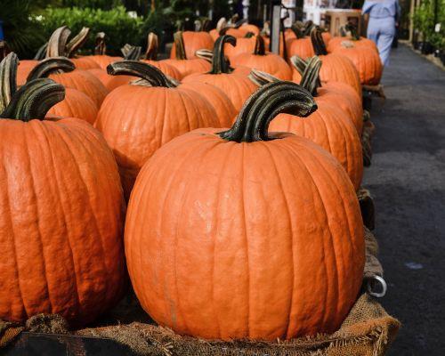 pumpkin patch large pumpkins in a row