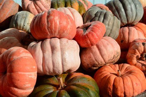 pumpkins patch orange