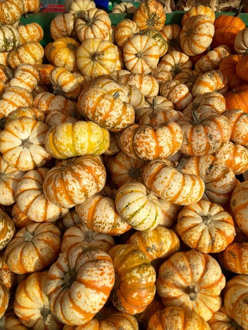 pumpkins squash stripes