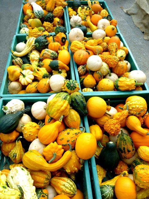 pumpkins cucurbitaceae plant