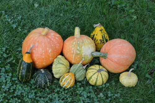 pumpkins pumpkin the cultivation of
