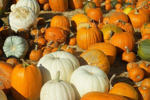 pumpkins pumpkin patch halloween