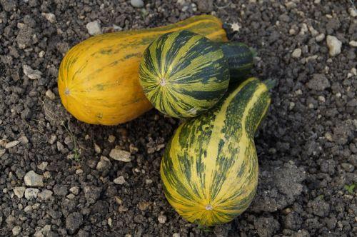 pumpkins decorative squashes autumn