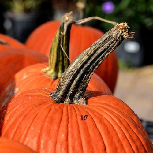 pumpkins large pumpkins pumpkin stem