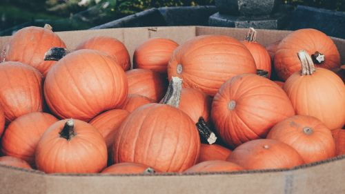 pumpkins bunch pumpkin patch