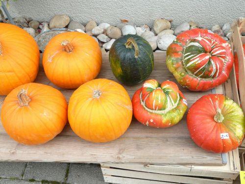 pumpkins decorative squashes cucurbita pepo