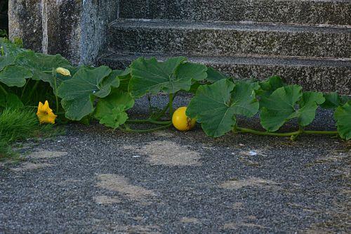 pumpkins vegetables yellow