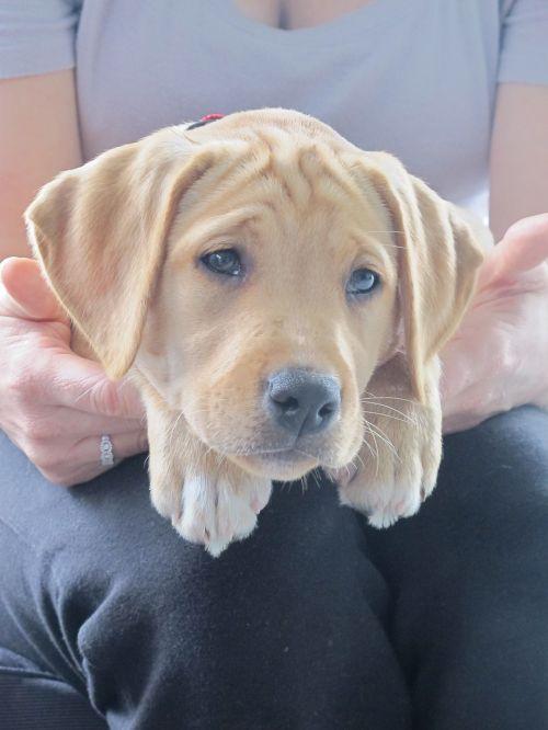 pup puppy labrador