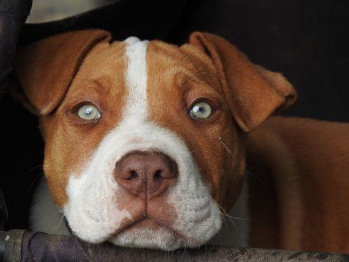 šuniukas,šuniukas,raudonas šuniukas,pitbull,šuo,kontempliatyvas,budrus,akys,gyvūnas,šunys,naminis gyvūnėlis