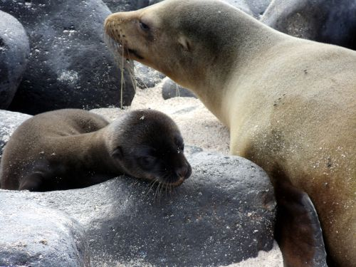 Pup & Mother Sea Lion