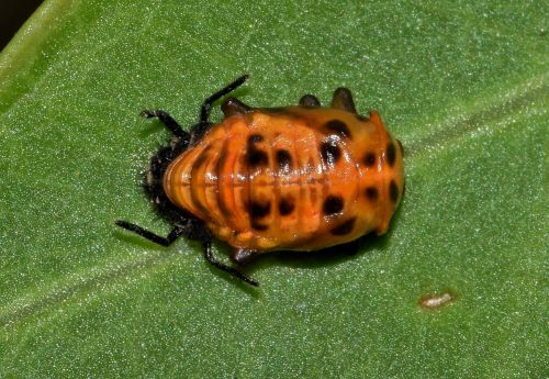 pupa lady beetle pupa multicolored asian lady beetle